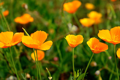 California poppy benefits